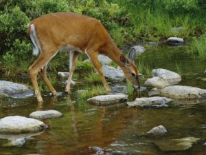 deer waterbrook