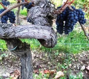 vines bordeaux